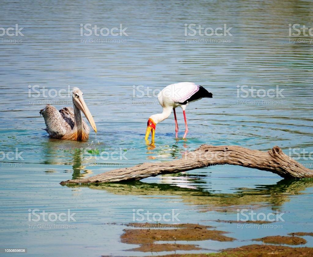Rose-backed pelican et cigogne bec jaune dans le lac - Photo