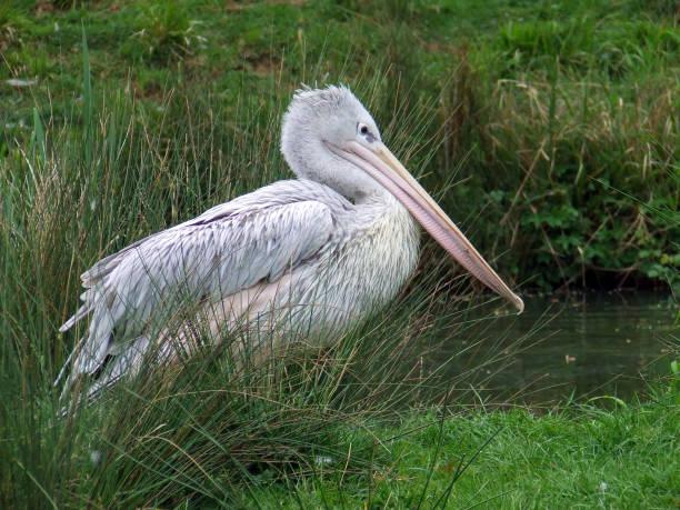 Pink-backed Pelican, pelecanus rufescens stock photo