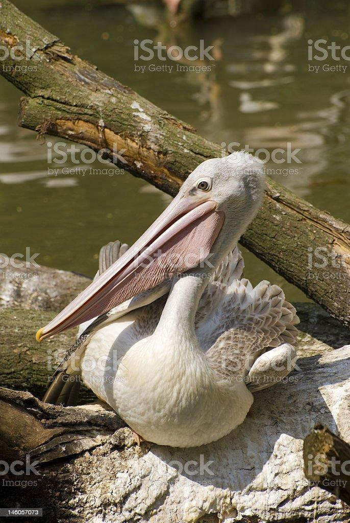 Pink-backed Pelican (Pelecanus Rufescens) stock photo