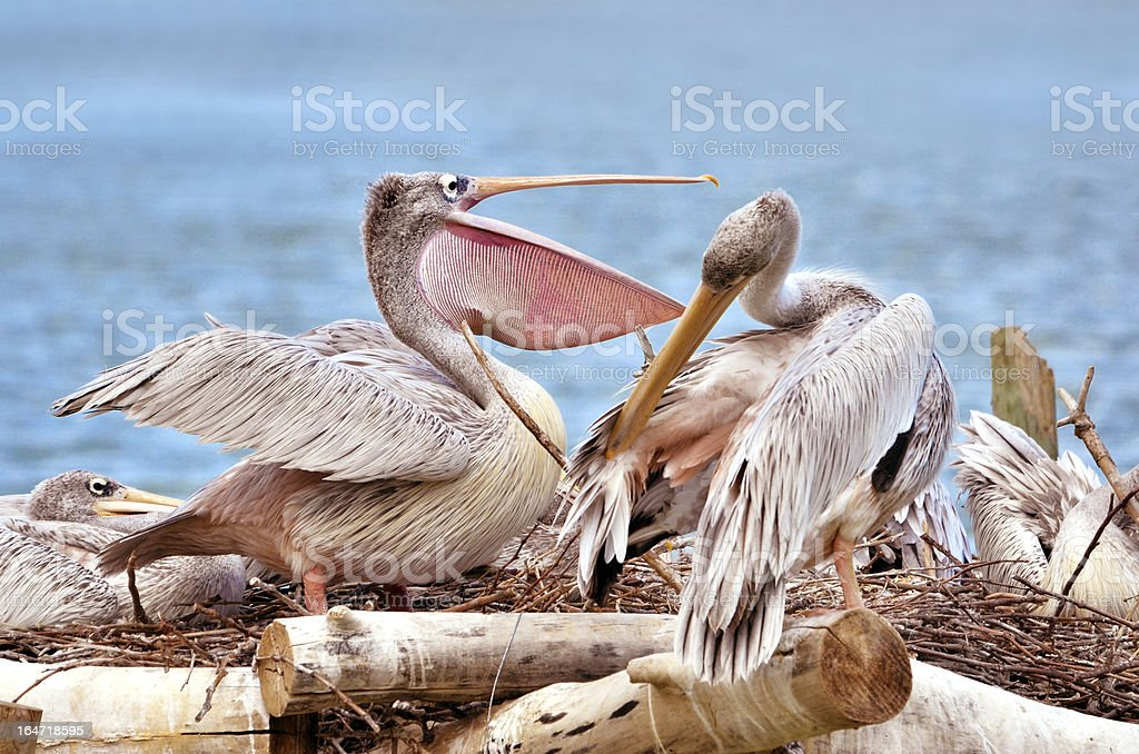 Pink-backed Pelicans royalty-free stock photo