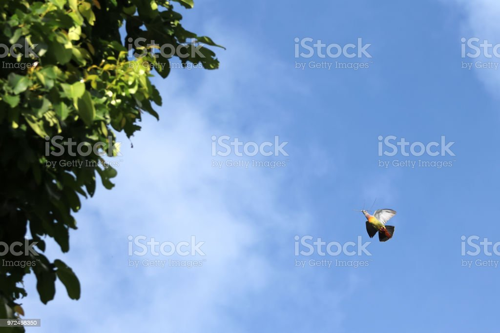 Pink-necked Green Pigeon birds flying with little tree branches for...