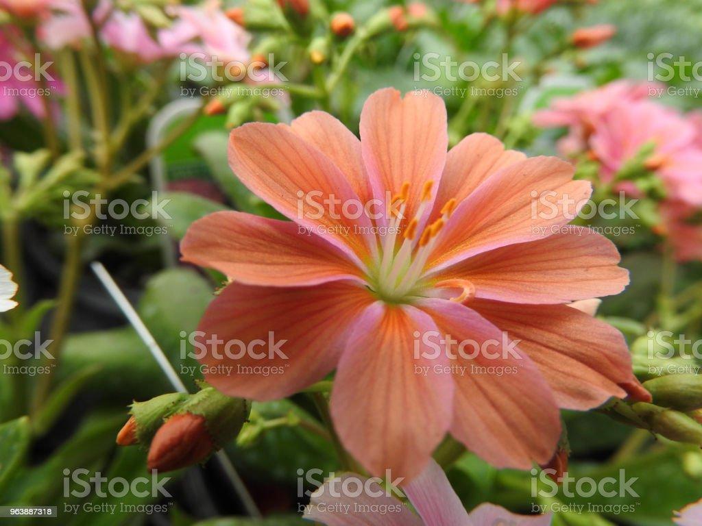 Pink/orange Flower - Royalty-free Beauty Stock Photo