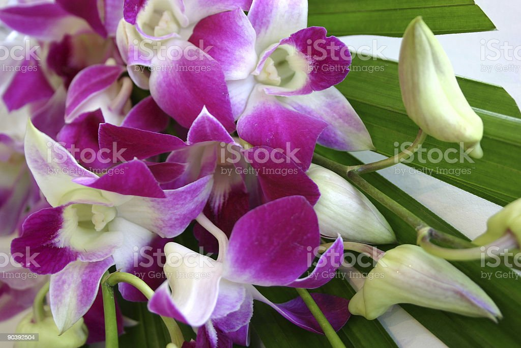 pink-purple Singapore orchids royalty-free stock photo