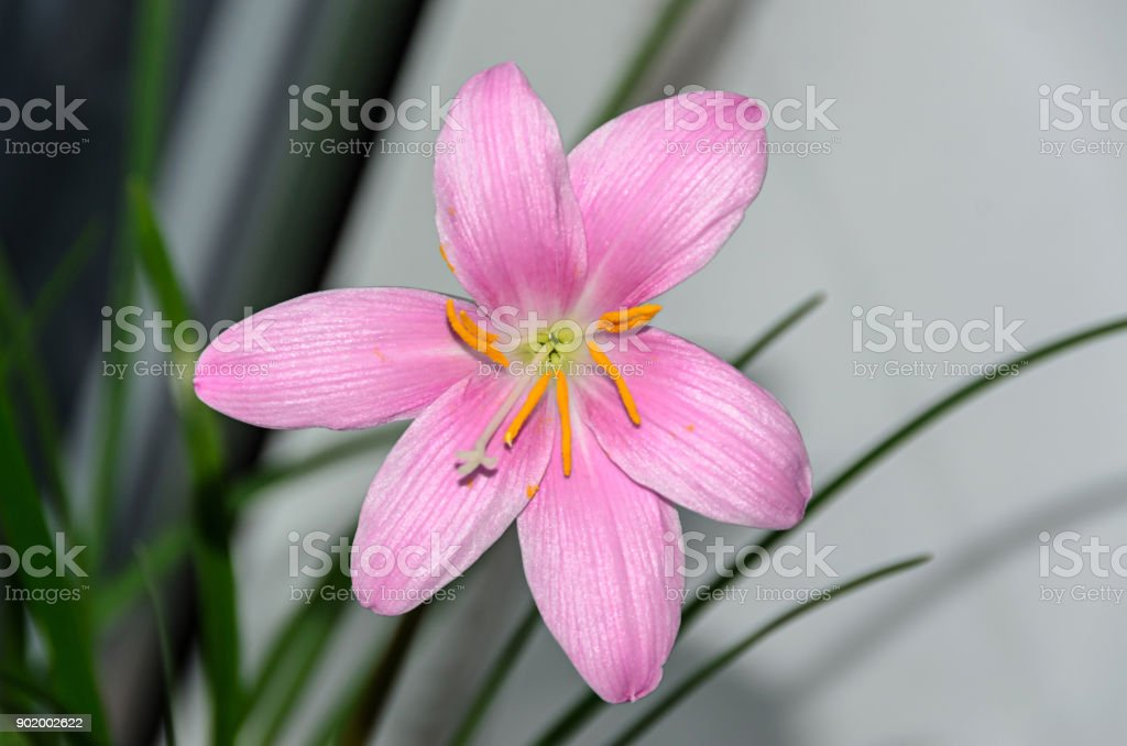 Pinkpurple Zephyranthes Flower Close Up Isolated Common Names For