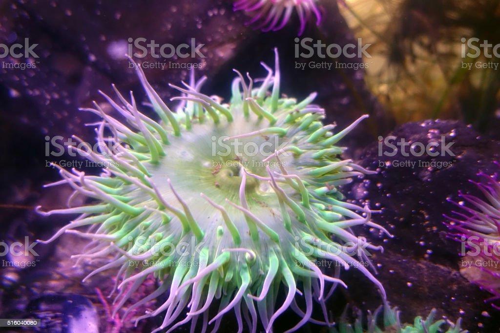 grüne Anemone Rosa-Kreissägeblätter – Foto