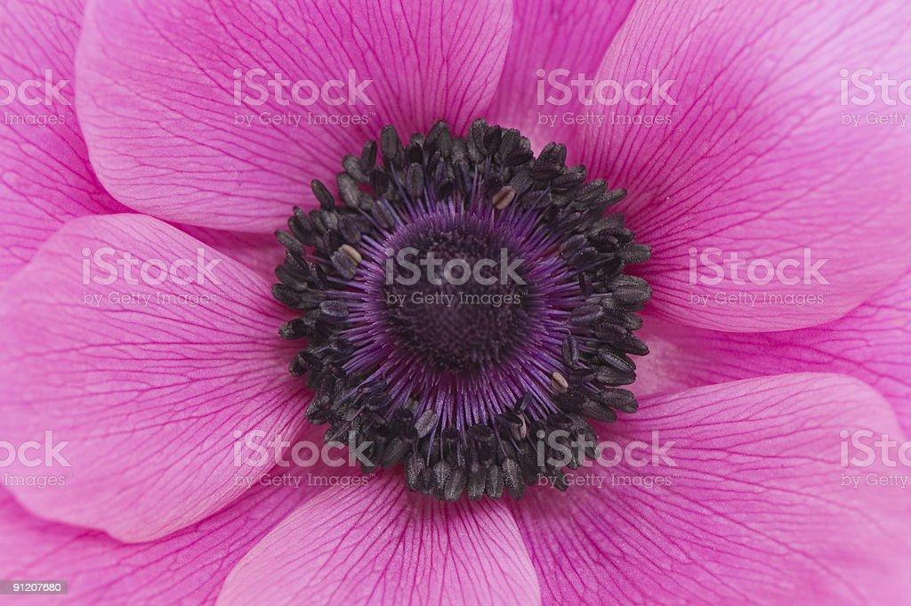 Pink-Violet Poppy royalty-free stock photo