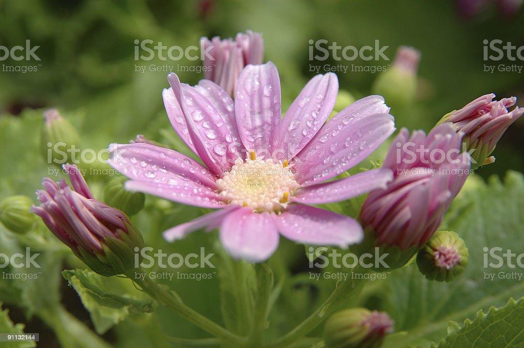 Pink-white senecio cineraria stock photo