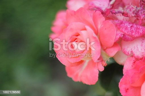 Bouquet of natural growing roses