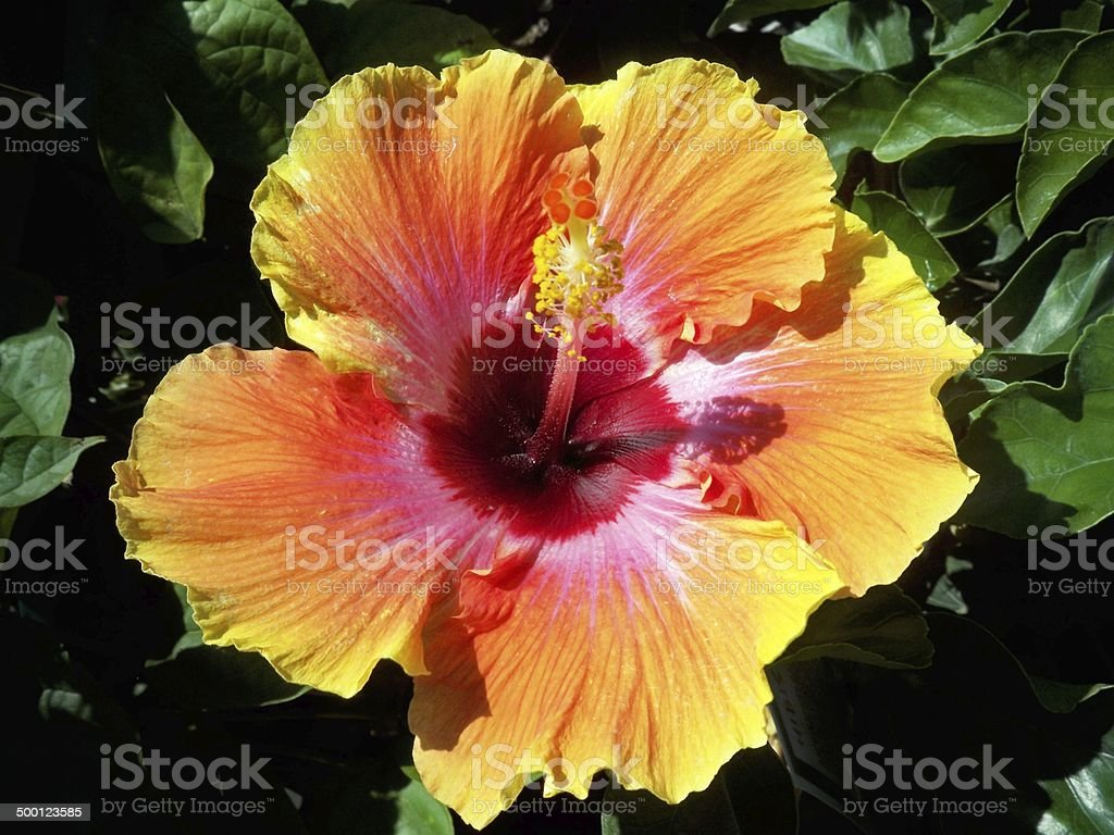 Pinkyelloworange hibiscus flower stock photo more pictures of pink yellow orange hibiscus flower royalty free stock photo izmirmasajfo