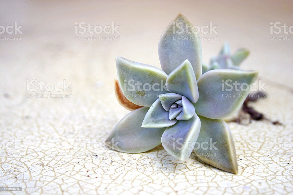 pinky-grey-blue succulent on patterned laminate royalty-free stock photo