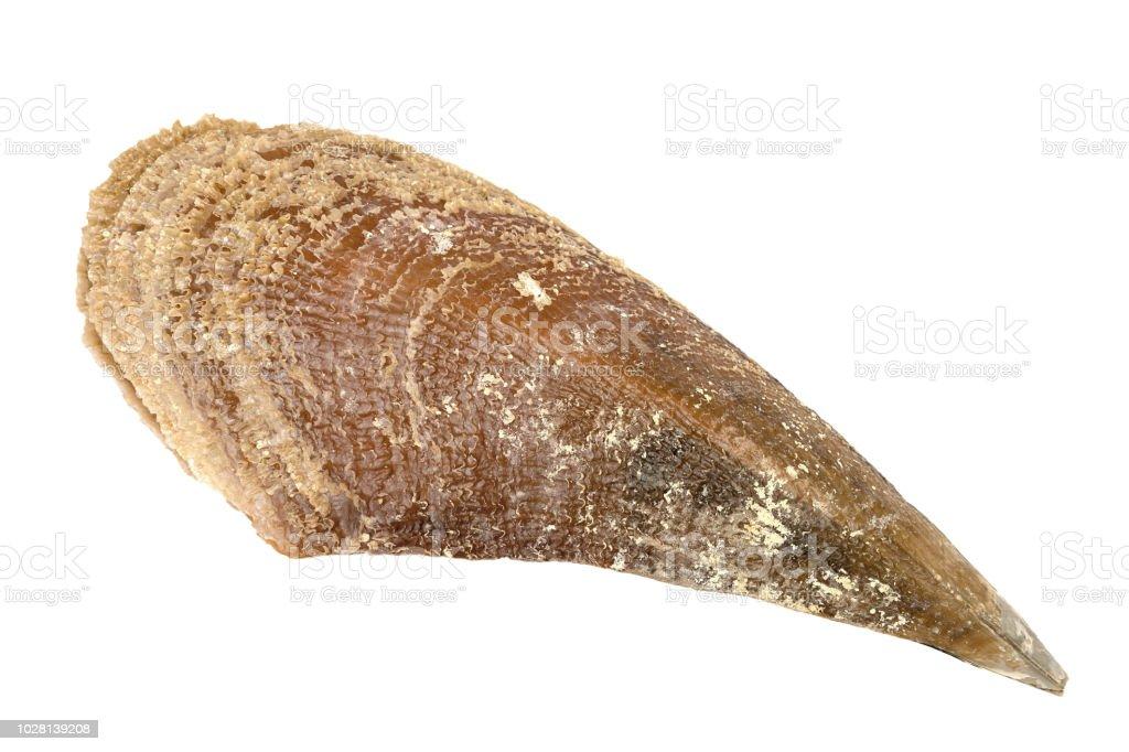 Pinna nobilis shell isolated on a white background - fotografia de stock