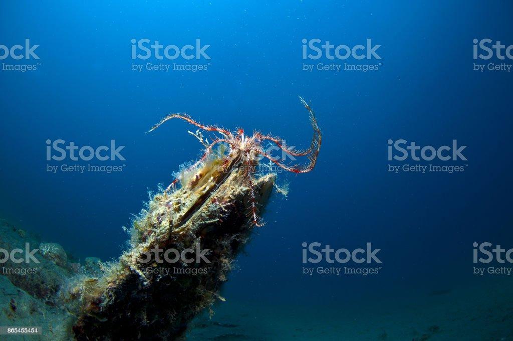 pinna nobilis - fotografia de stock