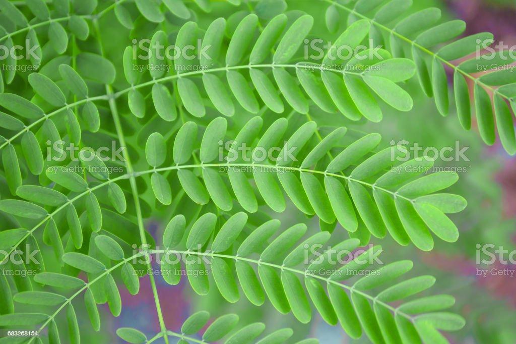 Pinnate green leaves royalty-free stock photo