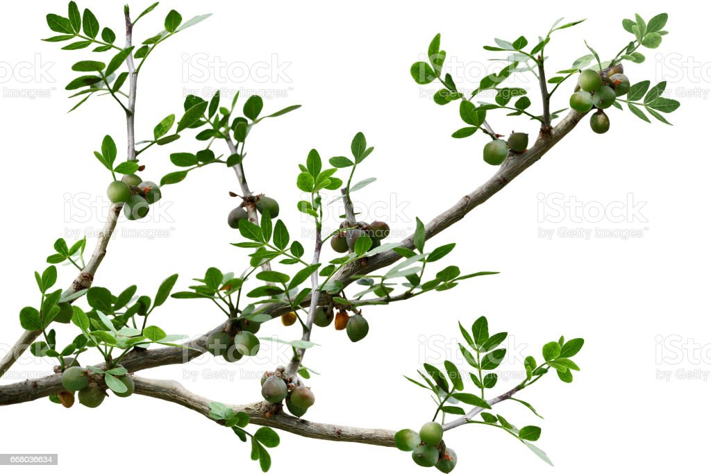 Pinnately Compound Leaves stock photo