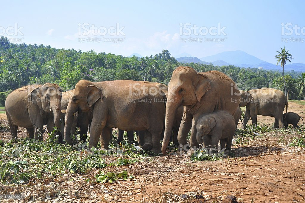 Pinnawala Elephant Orphanage stock photo