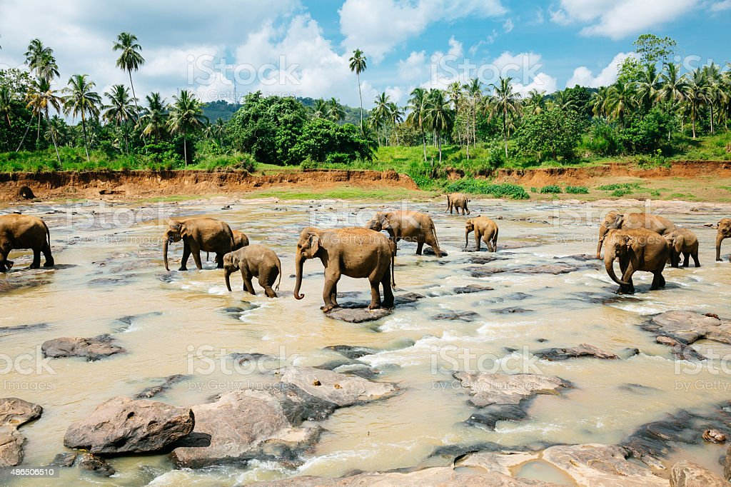 Pinnawala elephant orphanage, Sri Lanka. stock photo