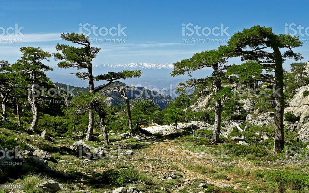 Pinos laricios en el pico Cabañas, en las Sierras de Cazorla, Segura y Las Villas. stock photo