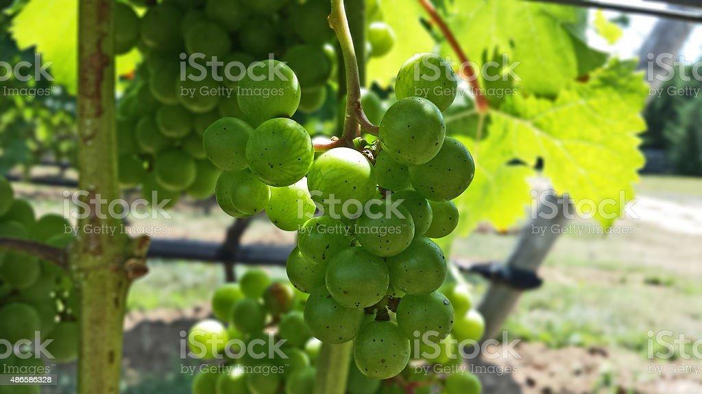 Pinot Blanc Grape Close Up stock photo