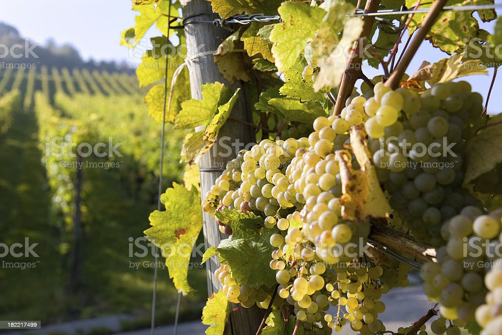 pinot blanc grapes stock photo