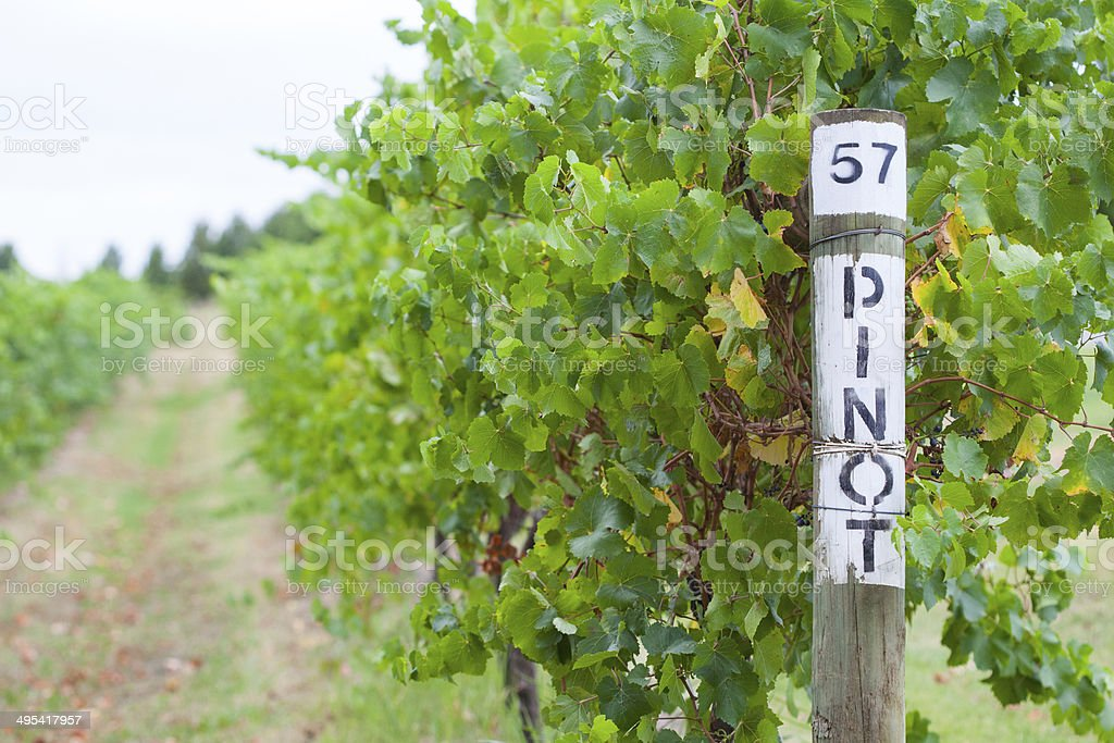 Pinot grapes at winery in Yarra Valley, Australia stock photo