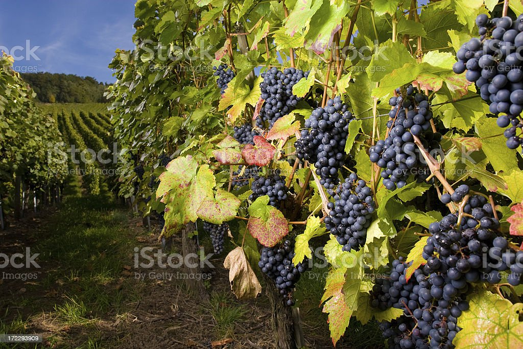 pinot gris grapes stock photo
