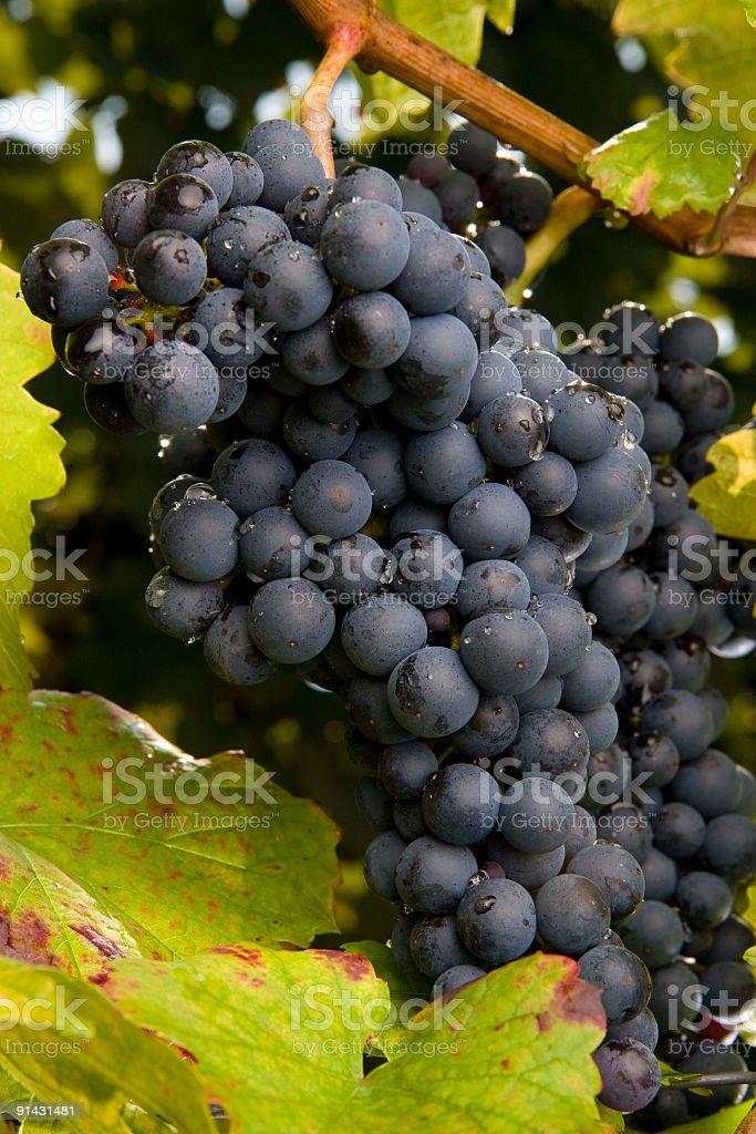 pinot gris grapes stock photo