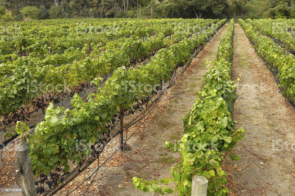 Pinot Noir Grape Yineyard royalty-free stock photo