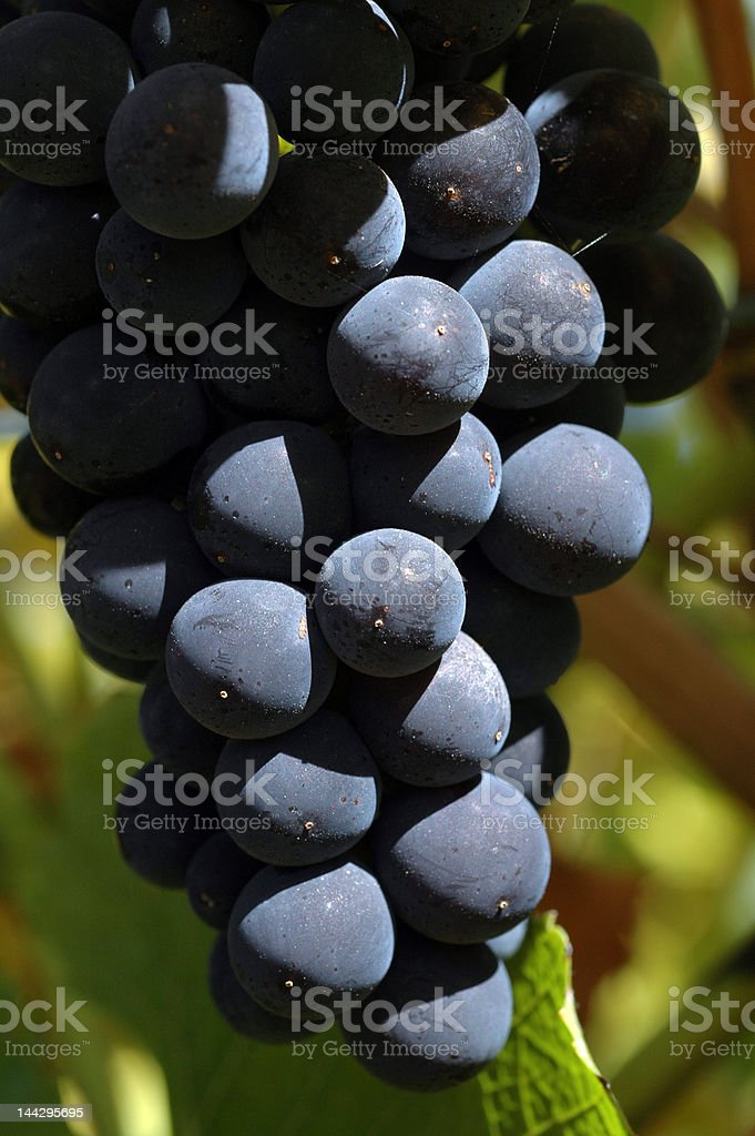 Pinot Noir grapes, Australia stock photo