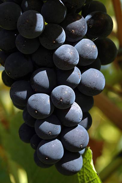 Pinot Noir grapes, Australia stock photo