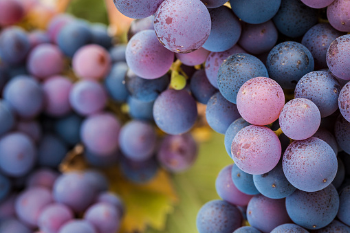 Close-up of glowing multi-coloured Pinot Noir red wine grapes in vineyard.
