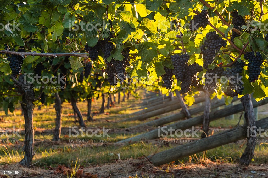 pinot noir grapes in vineyard stock photo