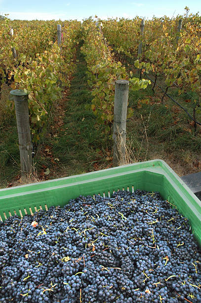 Pinot Noir grapes, Lenswood, Adelaide Hills, South Australia stock photo