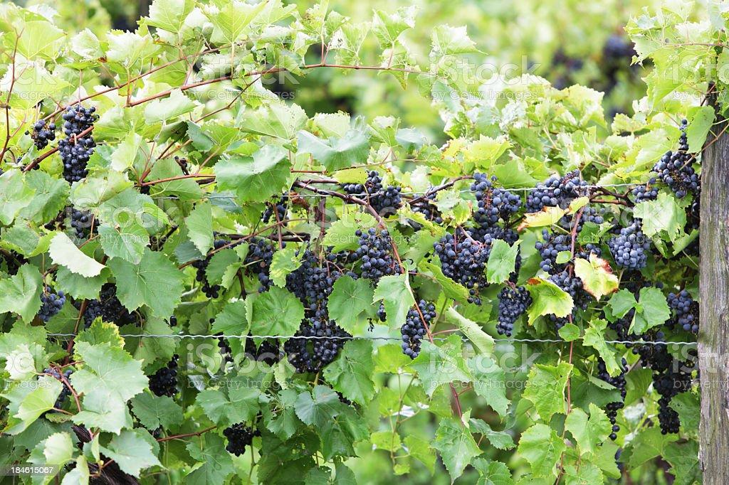 Pinot Noir Grapes Ripe at NY State Finger Lakes Vineyard stock photo