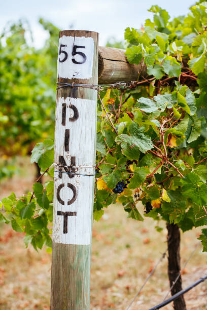 Pinot Noir Grapevine in Yarra Valley Australia stock photo