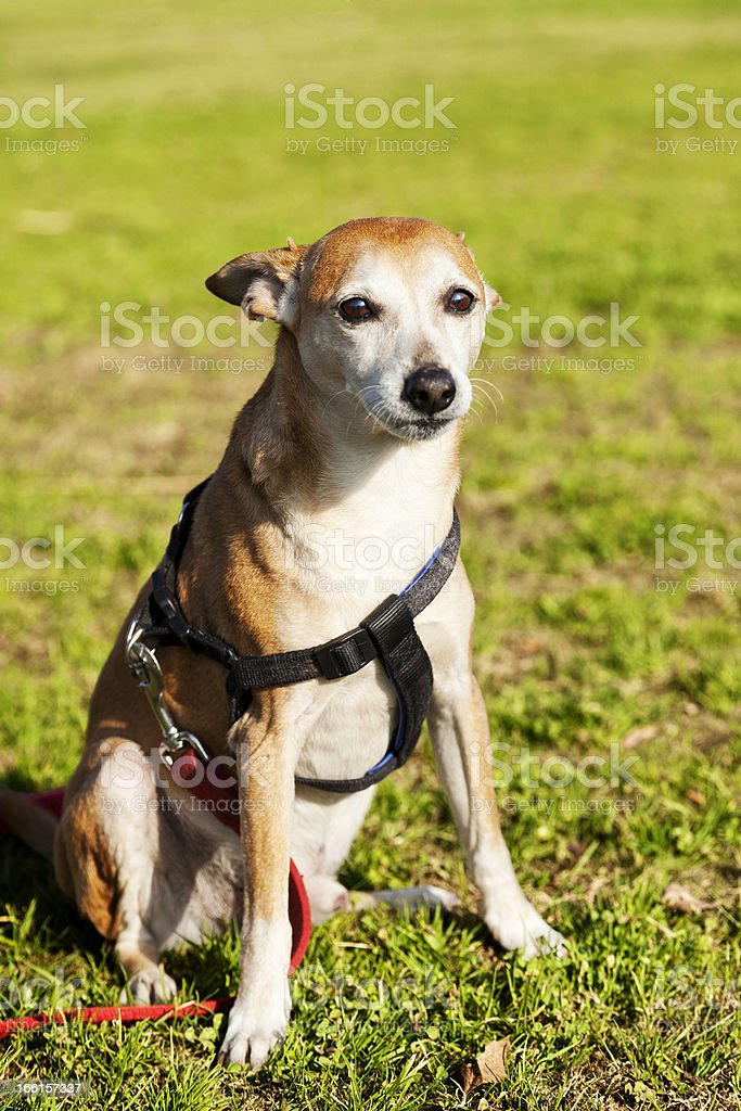 Pinscher Dog Portrait at the Park royalty-free stock photo