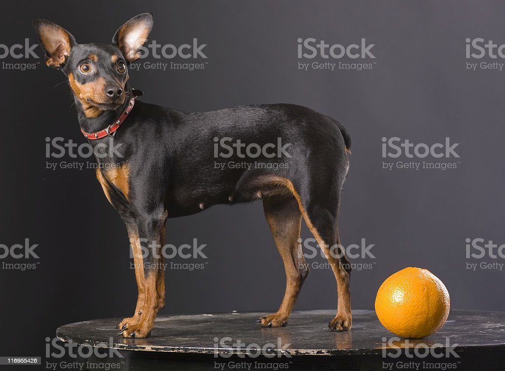 Pinscher royalty-free stock photo