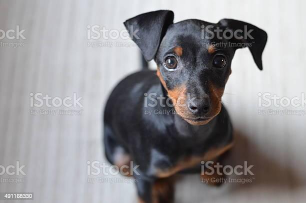 Pinscher puppy picture id491168330?b=1&k=6&m=491168330&s=612x612&h=qnczdqwdzf 9hjfk8rfyfb8r8kpndplctealx6ycg i=