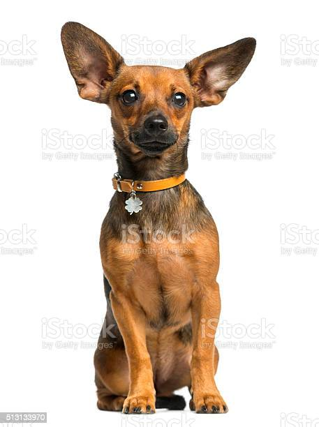 Pinscher sitting in front of a white background picture id513133970?b=1&k=6&m=513133970&s=612x612&h=rgrzvp0axc7wuwasbnka8nu r6kkwyt3wtcq9 qpidk=