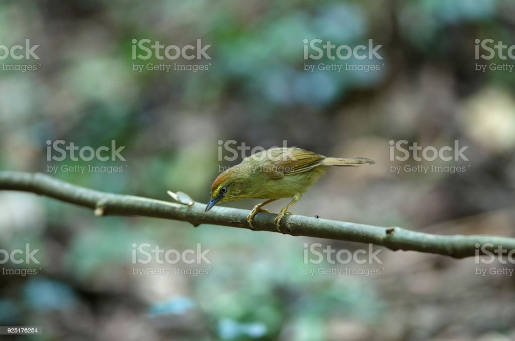 Pin-striped Tit Babbler ( Macronus gularis ) stock photo