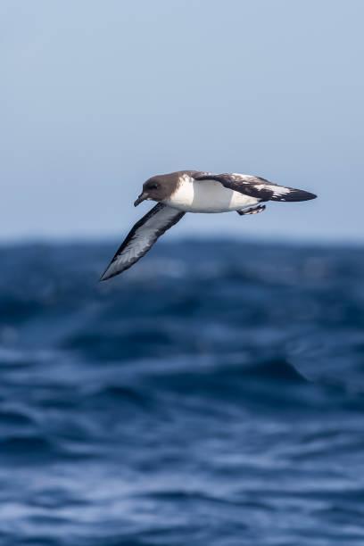 Pintado Petrel en vol au-dessus de la mer - Photo