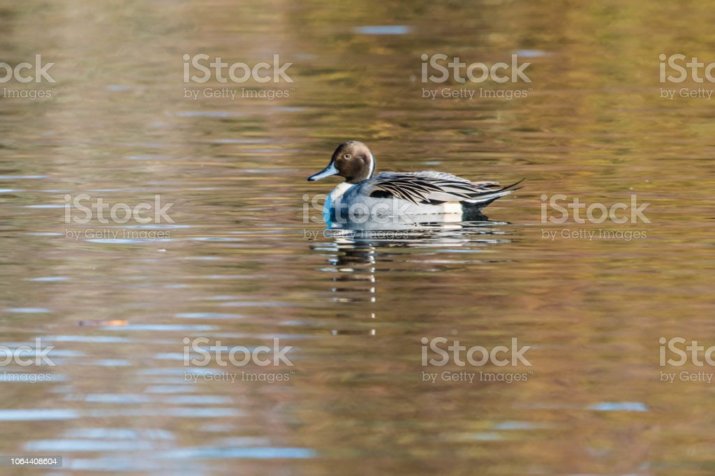 Pintail Duck stock photo