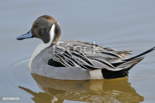 A Pintail duck swimming in the water,with his refection of the water,the bird has a brown head with a white chest with a grey body.