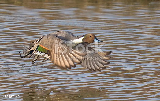 A Northern Pintail duck flushes from a local waterway.
