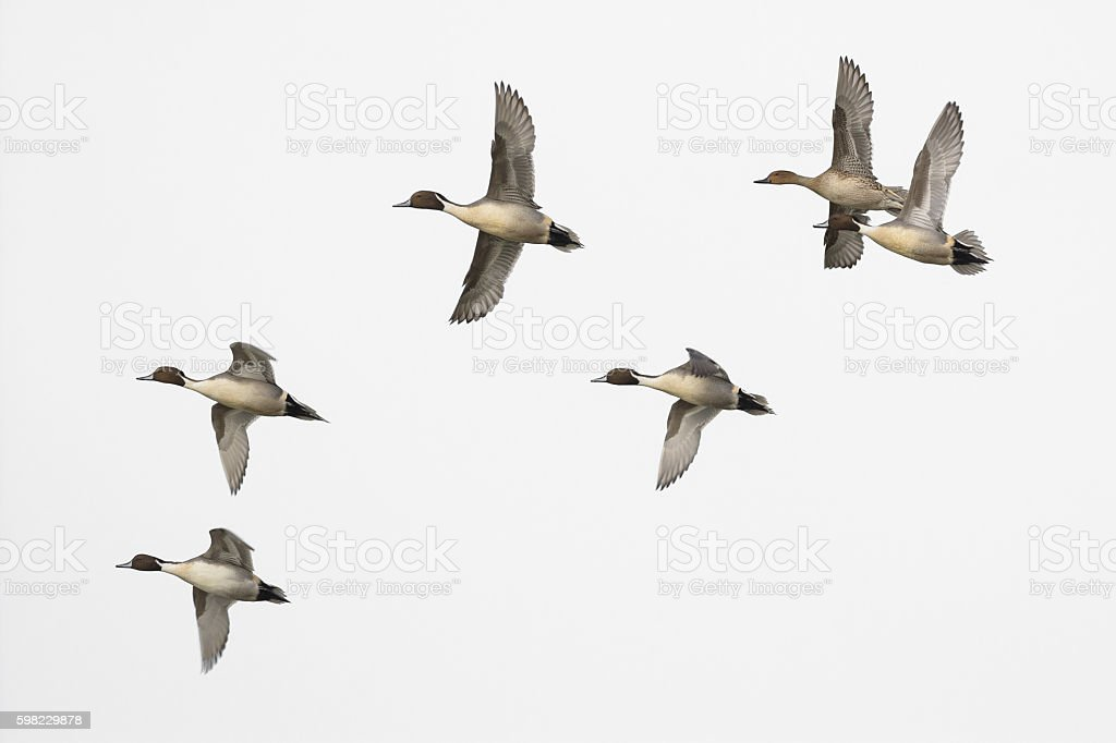 Pintail male duck flock isolated on white foto royalty-free