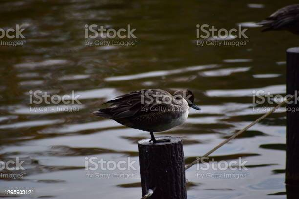 Pintail Stock Photo - Download Image Now