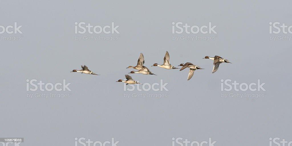 Pintail Pursuit Flight stock photo