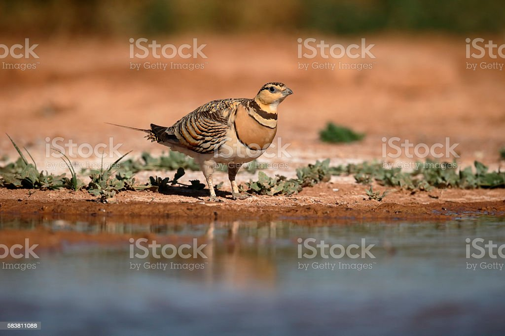 Pin-tailed sandgrouse, Pterocles alchata stock photo