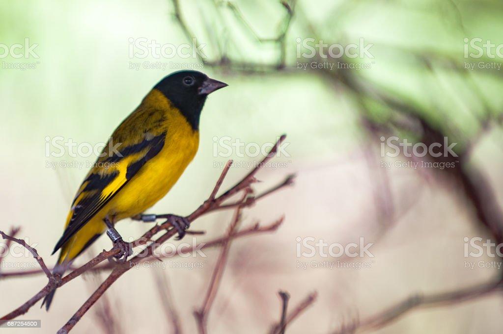 Pintassilgo (Spinus magellanicus) - Pássaros do Brasil stock photo