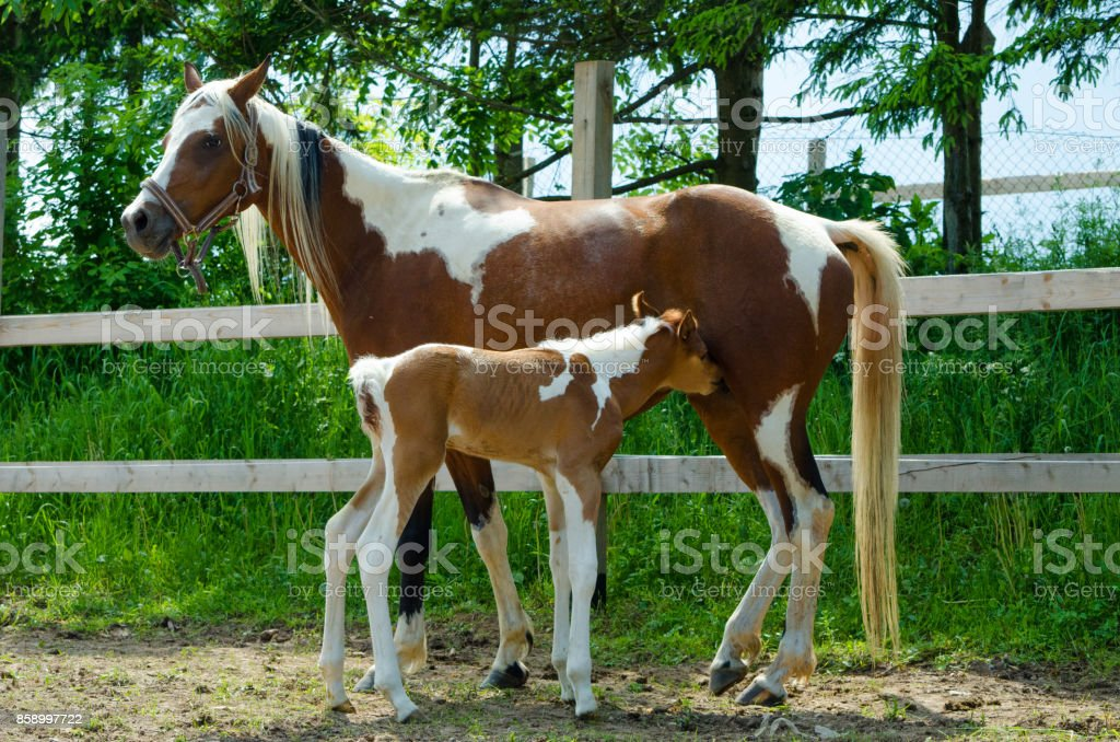 Pinto Arabian Mare With Newborn Foal Cute Horse Family Stock Photo ...