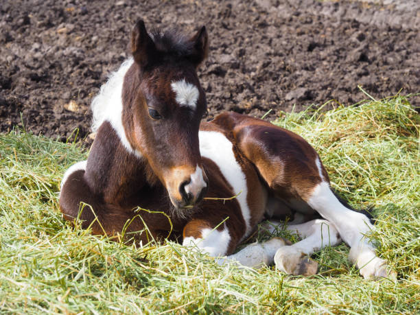 pinto colt or baby horse on ranch in Alberta equestrian, pinto colt on ranch in Alberta paint horse stock pictures, royalty-free photos & images